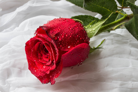 Red rose with water droplets - white background Stock Photo