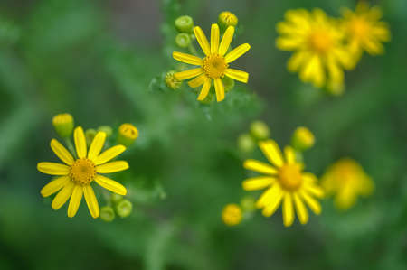 yellow wildflowers: Yellow wildflowers on a green background Stock Photo