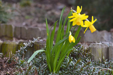 First spring daffodils in our garden