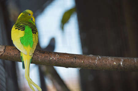 Parrot in our aviary on wooden stick