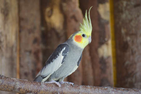 Cockatiel in our aviary with wooden background
