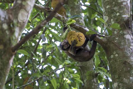 Monkey in the tree of Rio de Janeiro Brazil Tijuca forest