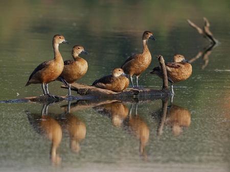 Lesser Whistling Ducks    photo
