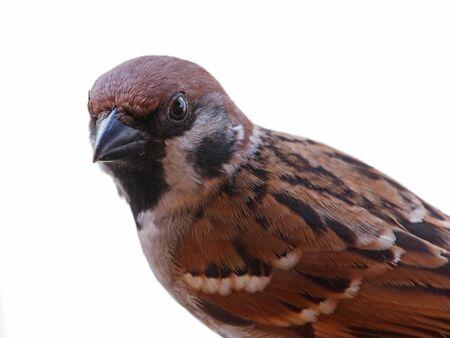 highkey: Eurasian Tree Sparrow Highkey Portrait Stock Photo