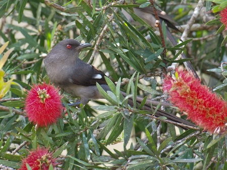 brush tailed: Long-tailed sibia on a bottle brush plant