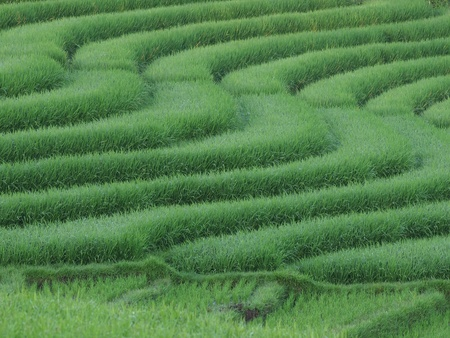 Terrace Rice Field         photo