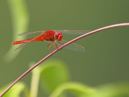 baron: Red Baron Dragonfly        Stock Photo