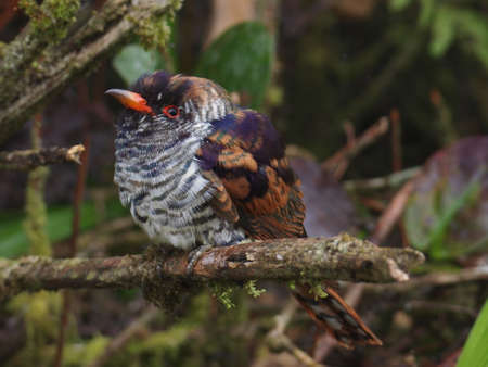 cuckoo: Juvenile Violet Cuckoo     Stock Photo