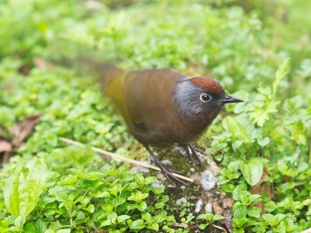 laughingthrush: Chestnut-crowned Laughingthrush