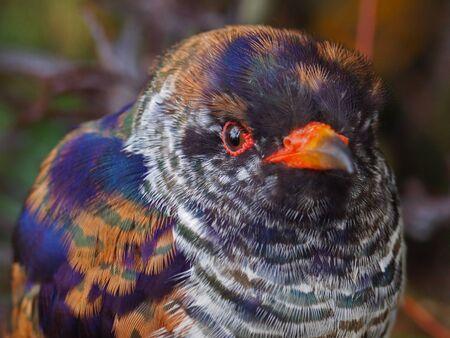 cuckoo: Violet Cuckoo Juvenile Stock Photo