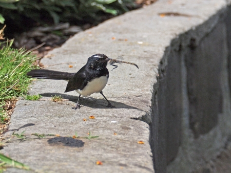 wagtail: Willie Wagtail