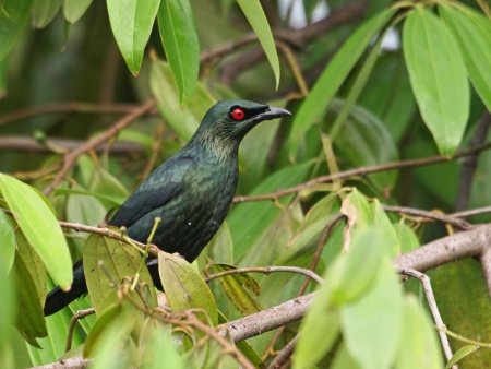 wildlive: Asian Glossy Starling