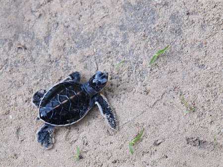 hatchling: Green Turtle Hatchling