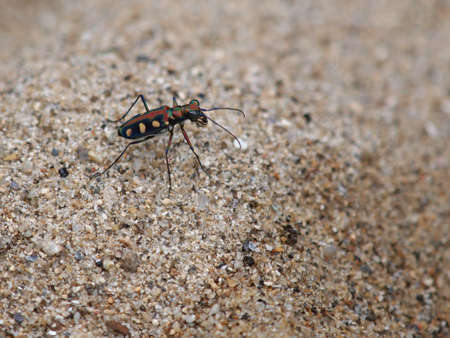 Golden-spotted Tiger Beetle Stock Photo