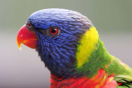 Rainbow Lorikeet Adult
