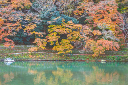 The beautiful colorful of the trees along the Katsura River in Autumn season with red and yellow leaves alternates, a major tourist attraction in Kansai region, Arashiyama Area, Kyoto, Japan. Popular people and photographer.