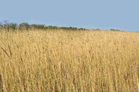 wild grass: Hierba salvaje.