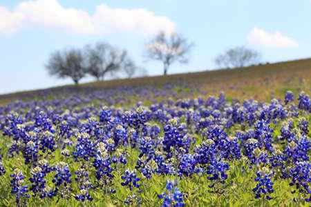 hillside: Bluebonnets on Hillside Stock Photo