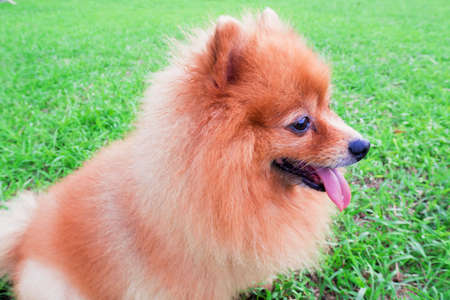 Pomeranian dog slick seats on the grass green in morning day