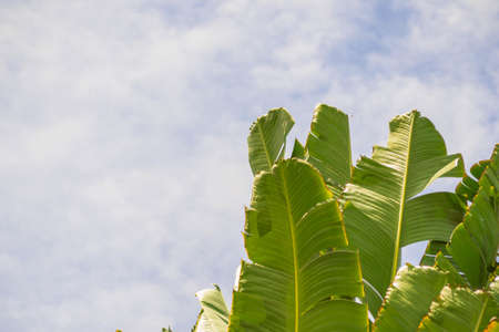 apart: Banana leaves being blown apart in the sky in morning sun shine