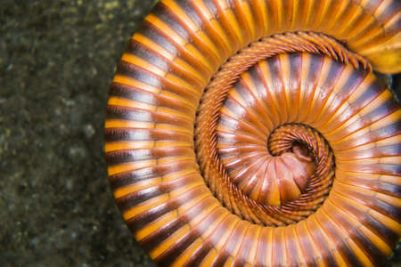 Millipede curled up on the ground in sun shine morning