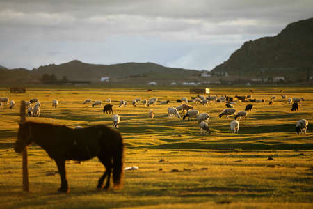 mongolia horse: A sheep herd in Mongolia, in a sunset light