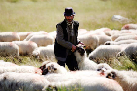 Lupeni, Romania - July 28, 2011: An elderly shepherd carries a sheep on a sunny day.