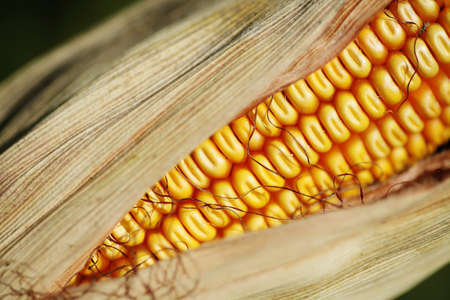 Color picture of a ear of corn Stock Photo