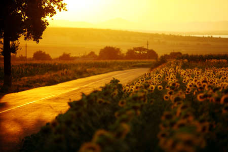 A field of sunflower, by sunset, near a road