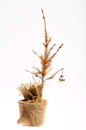 death and dying: Color shot of a small dead Christmas tree. Stock Photo
