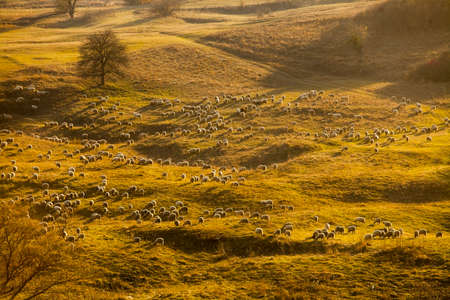 Horizontal color image of a flock of sheep on a hill. photo