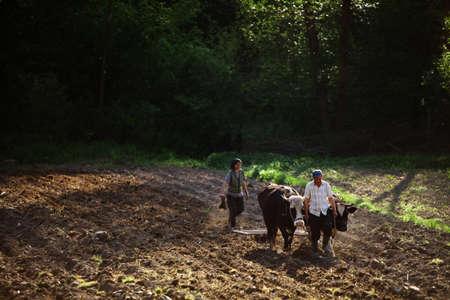 buey: Salatruc, Rumania - 12 de mayo 2015: Un hombre ara el campo con bueyes, en Salatruc, Rumania.
