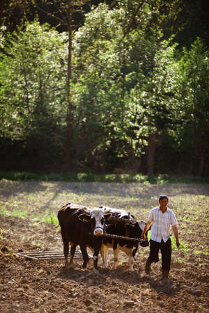 oxen: Salatruc, Romania - May 12, 2015: A man ploughs the field with oxen, in Salatruc, Romania.