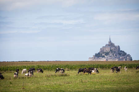 mont saint michel: Color image of some Holstein cows in front of Mont Saint Michel in Normandy, France.
