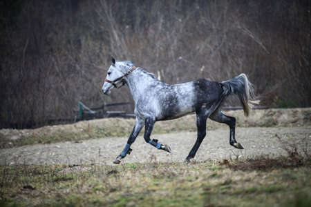 gray horse: Color image of a gray horse, running. Stock Photo