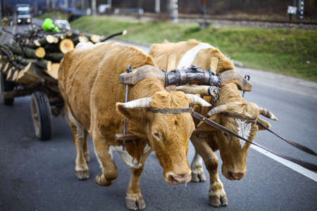 oxen: Color image of two oxen pulling a cart.