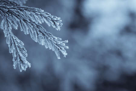 Close up image of some frozen pine branches.
