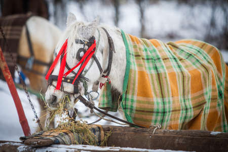 A horse eats hay, covered by a blanket.