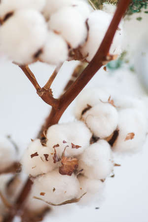 Color image of some cotton buds on a dried branch. Stock Photo