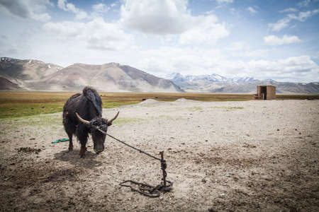 Color image of a yak tied to a pole in Tajikistan.