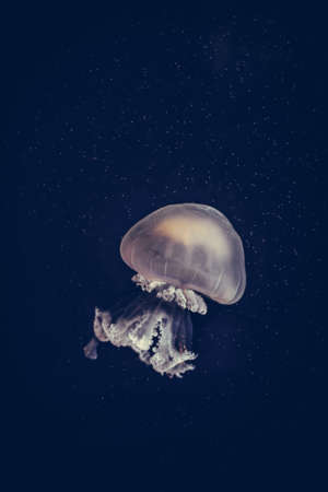 Color close up of a jelly fish swimming in an aquarium.