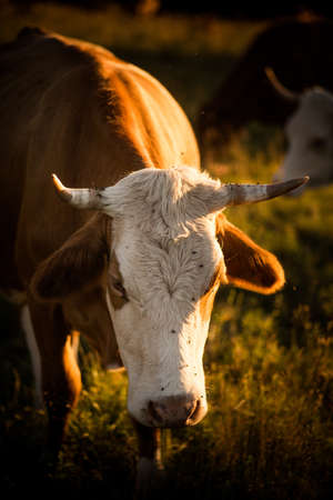 Image of cows grazing in a beautiful sunset light.