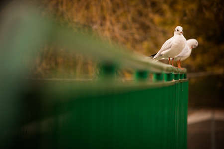 A pair of seagulls resting on an autumn day, in a park.
