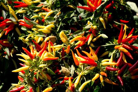 bush pepper: Peppers in the garden