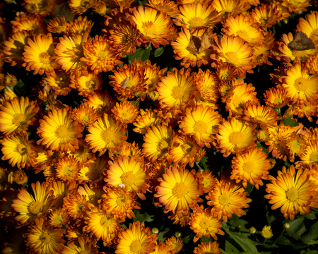 yellow: Yellow chrysanthemum Stock Photo