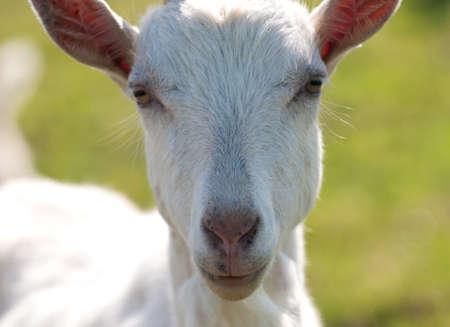 curios: Curios goat