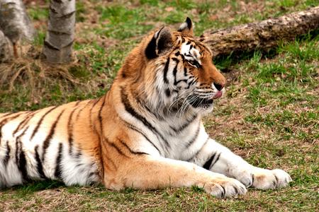 amur: Amur tiger