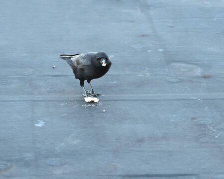 bred: Raven on the roof eating bred Stock Photo