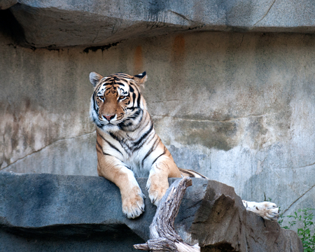 the amur: Amur tiger