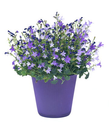 Campanula flowers in plastic pot separated on white background Фото со стока